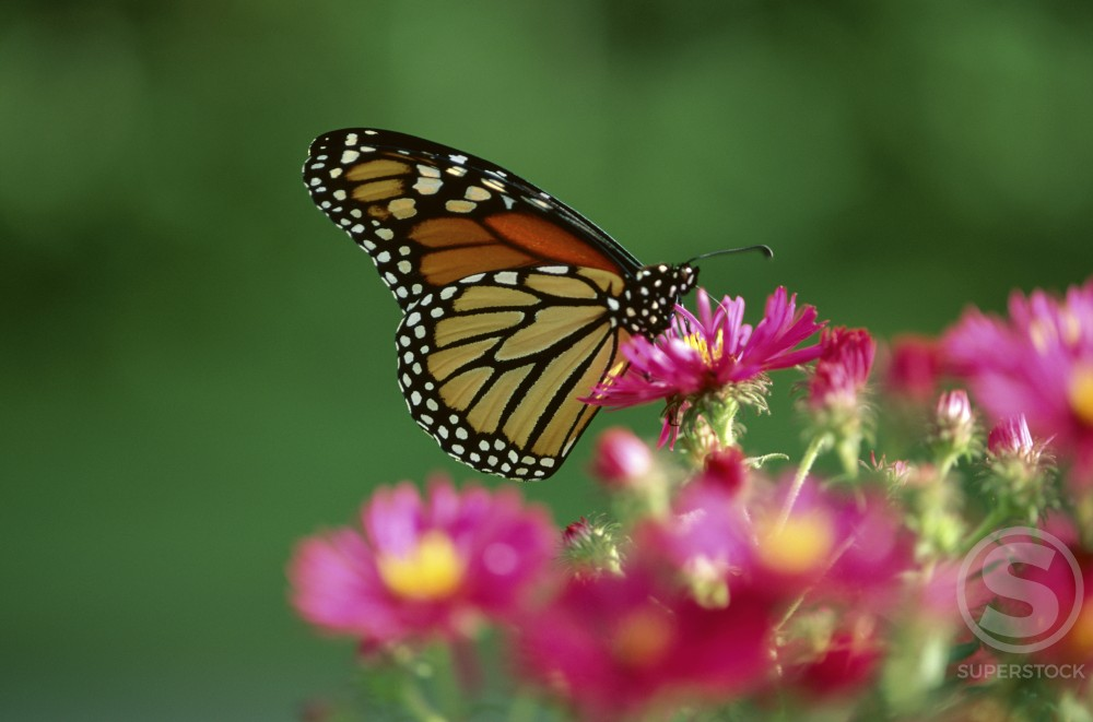 Stock Photo: 47-6881A Monarch Butterfly