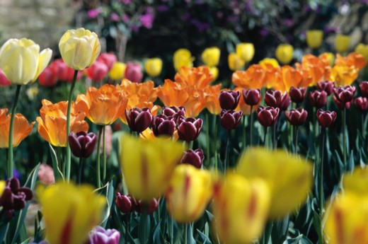 Close-up of tulips : Stock Photo