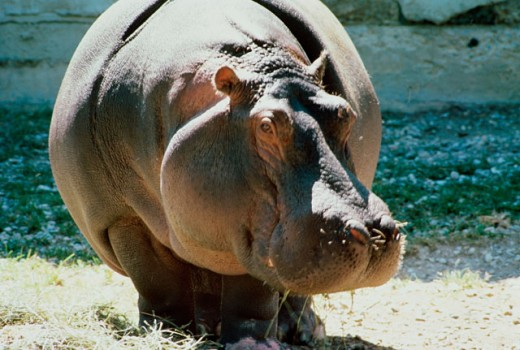 Stock Photo: 493-1337 Close-up of a Hippopotamus