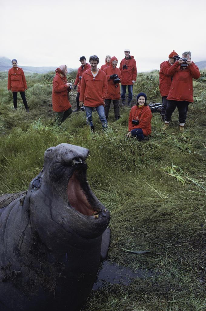 Stock Photo: 53-1343 Bull Elephant Seal South Georgia Island Antarctica
