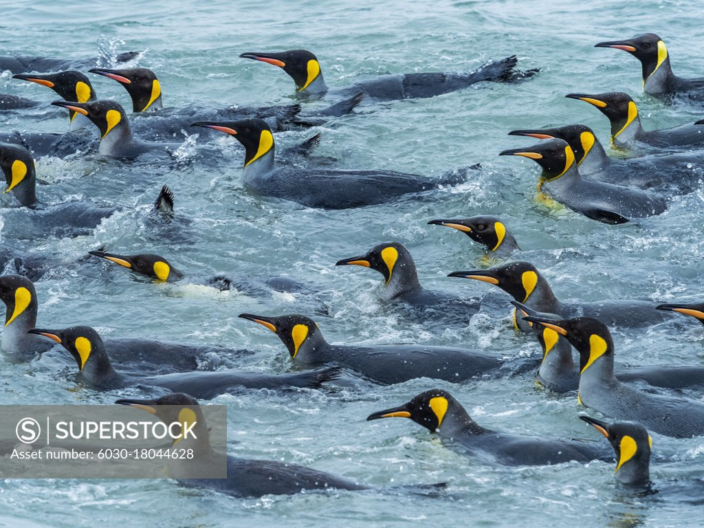 Stock Photo: 6030-18044628 King Penguins (Aptenodytes patagonicus) in the surf at St. Andrews Bay, South Georgia