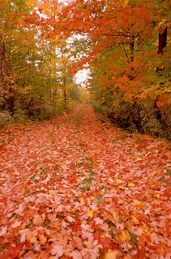 Maple leaves fallen on a walkway : Stock Photo