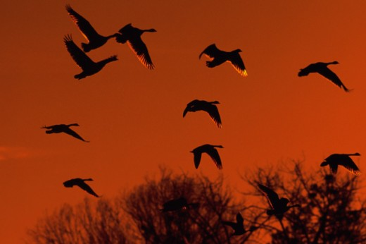 Stock Photo: 608R-3462 Flock of Canada Geese flying