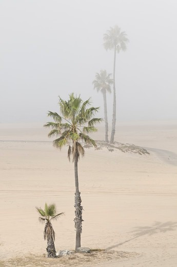 Stock Photo: 618-507 USA, California, Los Angeles, Westchester, Dockweiler Beach, Palm trees gradually disappear as fog rolls in from the Santa Monica Bay