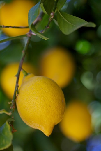 Stock Photo: 620-2932 Lemons growing on a tree, Borrego Springs, San Diego County, California, USA