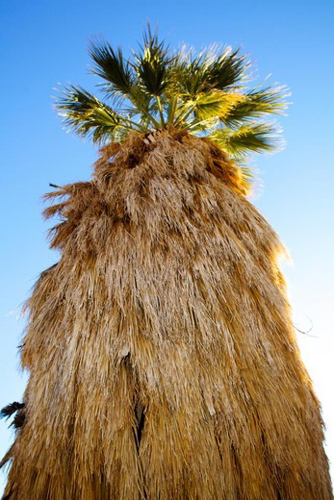Stock Photo: 620-2935 Low angle view of California fan palm tree, Anza Borrego Desert State Park, California, USA