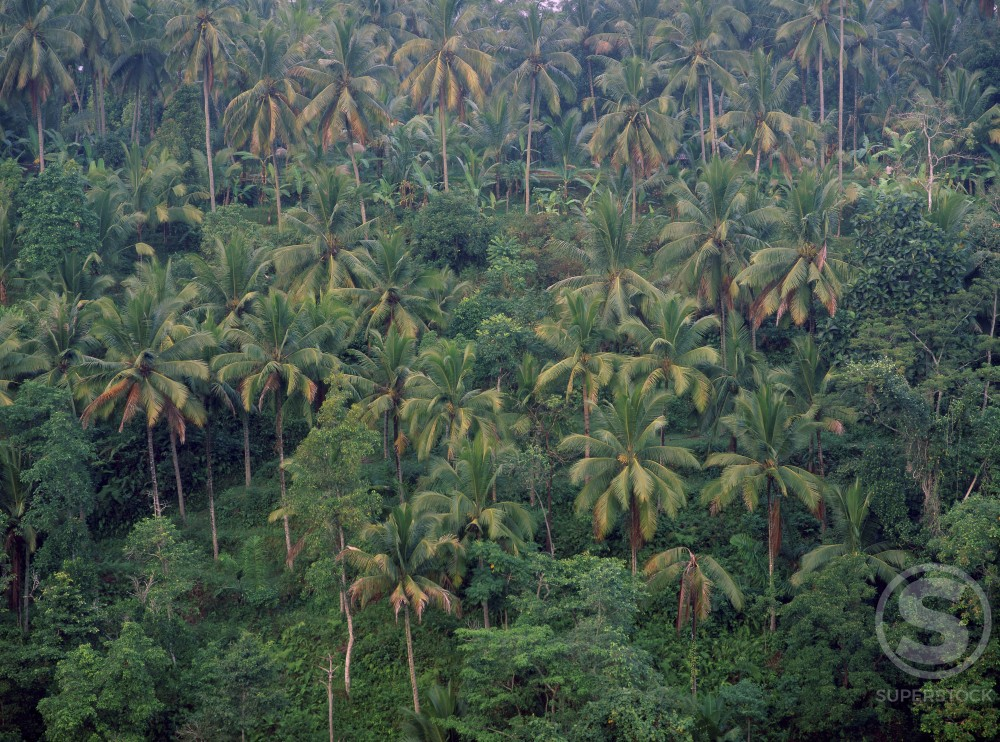 Stock Photo: 620-675A Coconut Trees