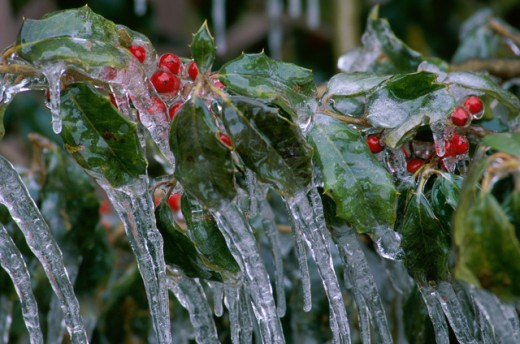 Ice formation on a Holly plant : Stock Photo