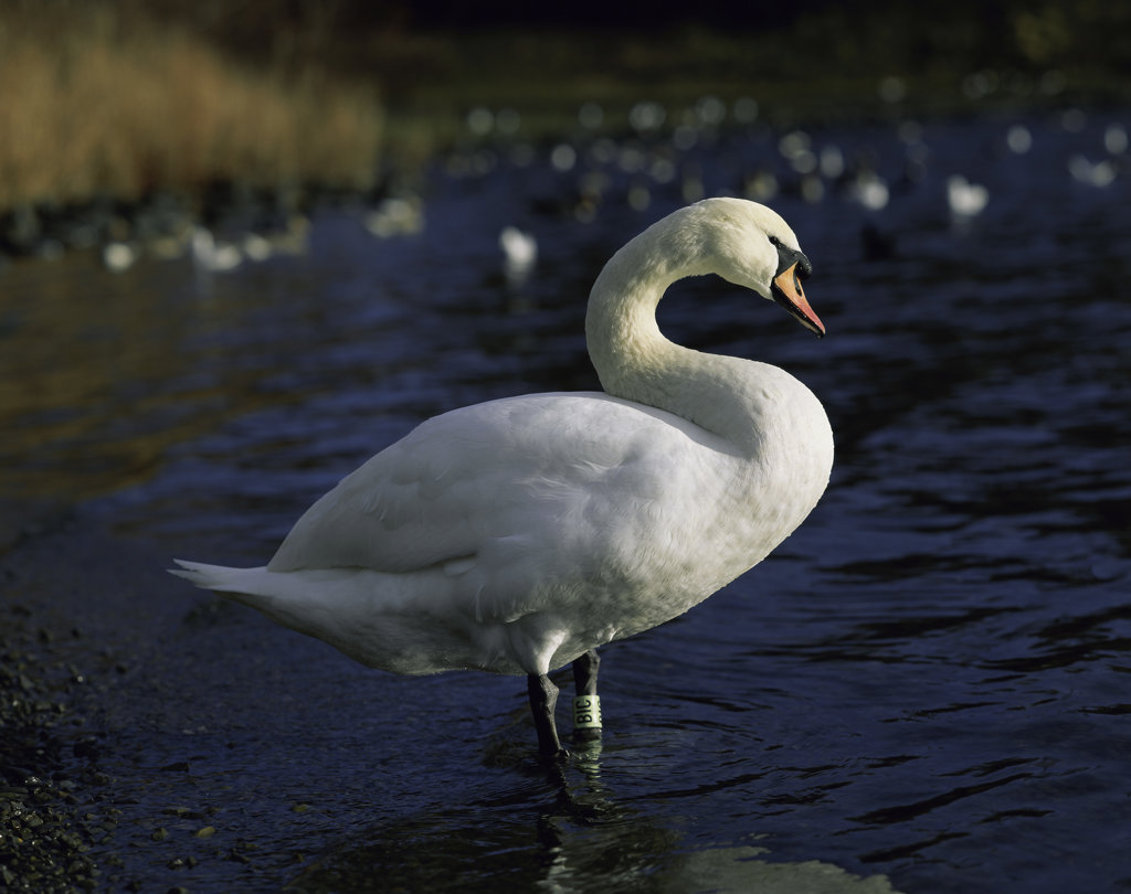 Stock Photo: 633R-359 Swan standing in a lake
