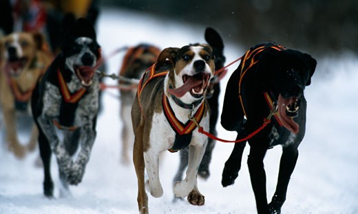 Stock Photo: 647-1041 Dogsledding