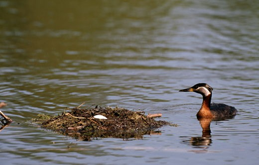Red-Necked grebe (Podiceps grisegena) with its nest in a pond : Stock Photo