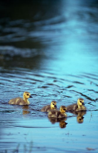 Canada goose (Branta canadensis) goslings in a pond : Stock Photo