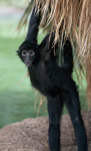 Spider Monkey : Stock Photo