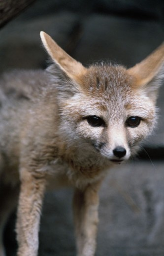 Stock Photo: 647-1292 Kit Fox