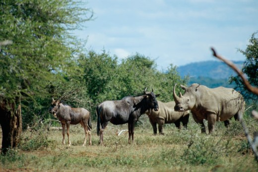 Wildebeests and rhinoceroses standing in a field, Hluhluwe National Park, South Africa : Stock Photo