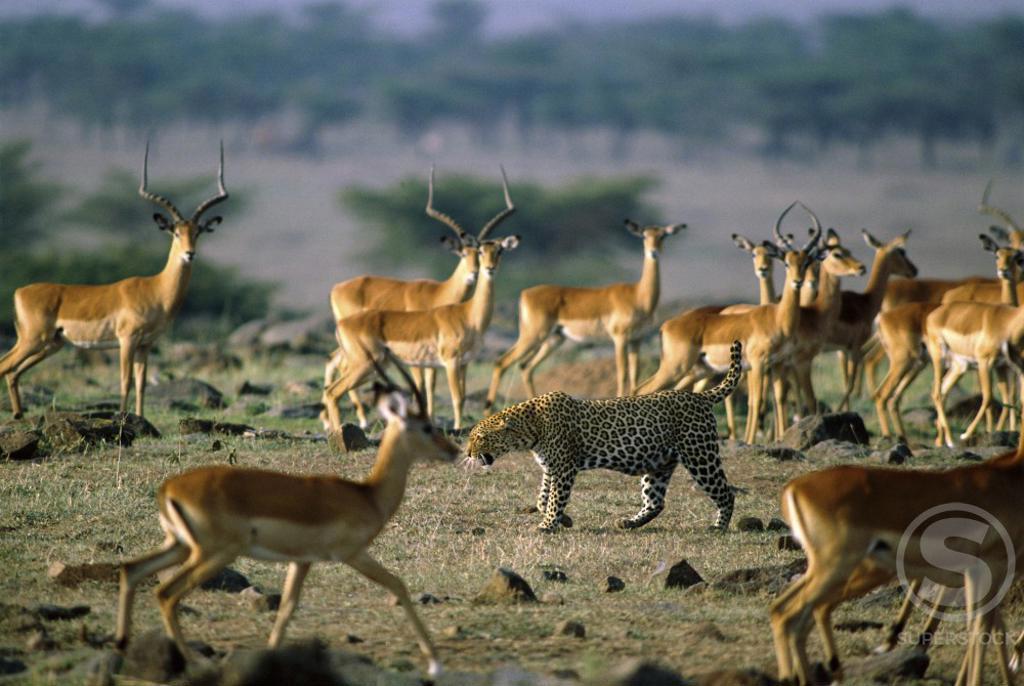 Leopard walking amongst a herd of Impalas, Masai Mara Game Reserve, Kenya : Stock Photo
