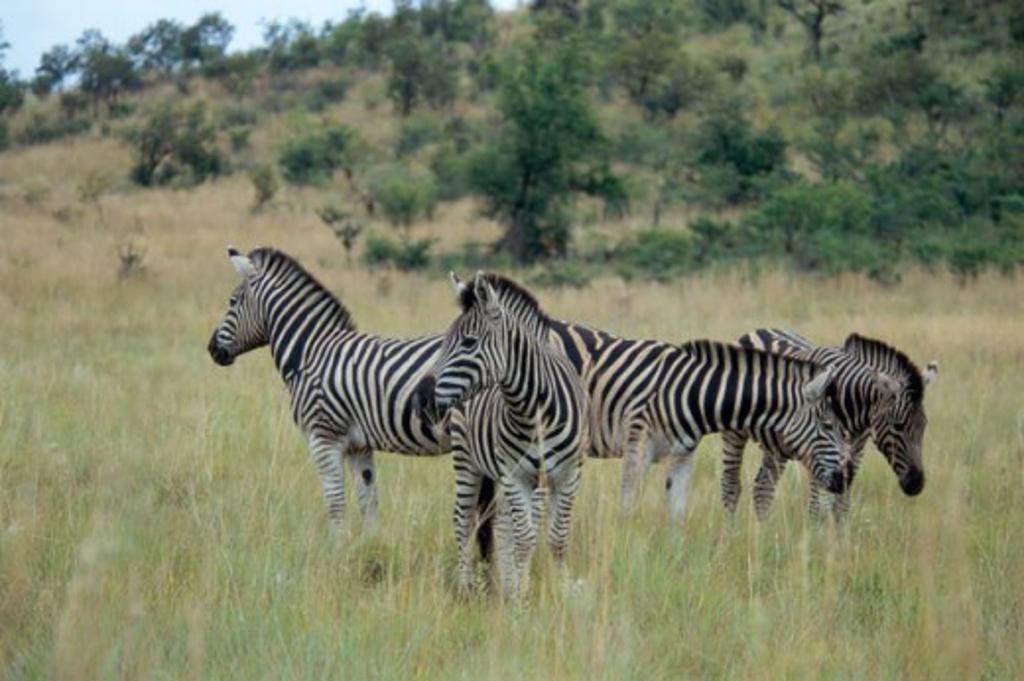 Stock Photo: 647-1413 Zebras (Equus Burchelli)