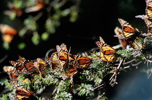 Stock Photo: 647-1481 Monarch butterflies on a branch, El Rosario Butterfly Sanctuary, Angangueo, Mexico (Danaus plexippus)
