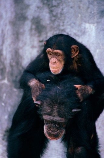 Close-up of a chimpanzee with its young : Stock Photo