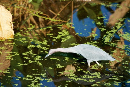 High angle view of a Little Blue Heron wading in water (Egretta caerulea) : Stock Photo