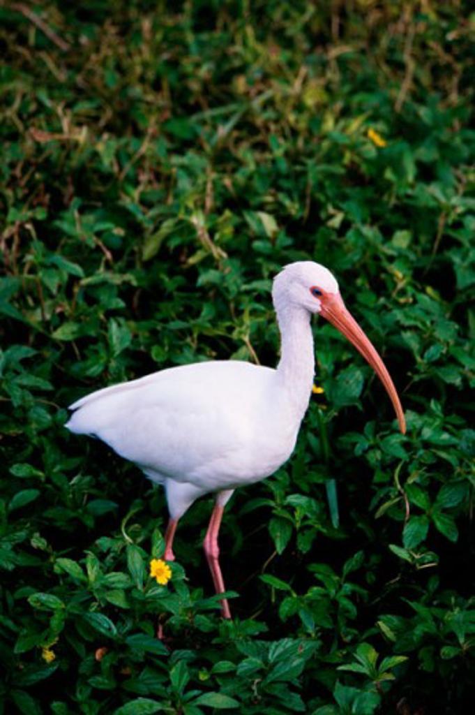 Side profile of a White Ibis (Eudocimus albus) : Stock Photo