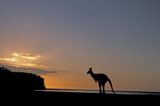 Silhouette of a Grey Kangaroo at dawn, New South Wales, Australia : Stock Photo