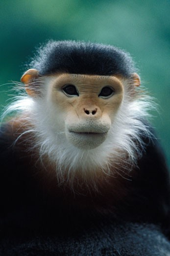 Stock Photo: 647-1862 Close-up of a Douc langur