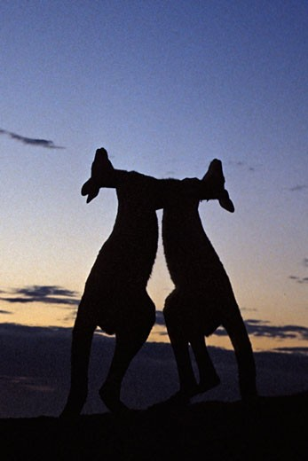 Silhouette of two kangaroos fighting at dawn, Pebbly Beach, Murramarang National Park, Australia : Stock Photo
