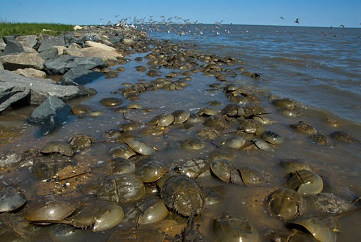 Stock Photo: 647-1918 Horseshoe crabs (Limulus polyphemus) with birds in the background, Delaware Bay, USA