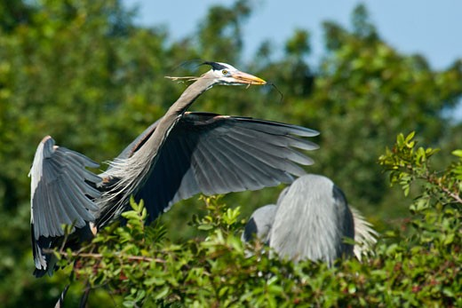 Two Great Blue herons (Ardea herodias) perching on a tree : Stock Photo