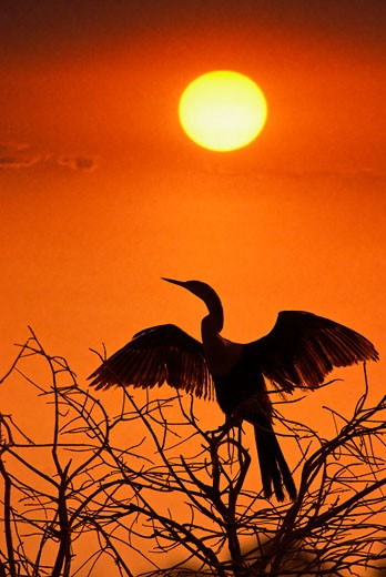 Low angle view of an anhinga (Anhinga anhinga) perching on a tree at sunset : Stock Photo