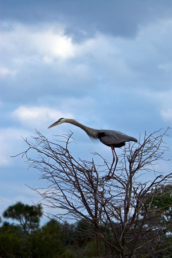 Low angle view of a Great Blue heron (Ardea herodias) perching on a tree : Stock Photo