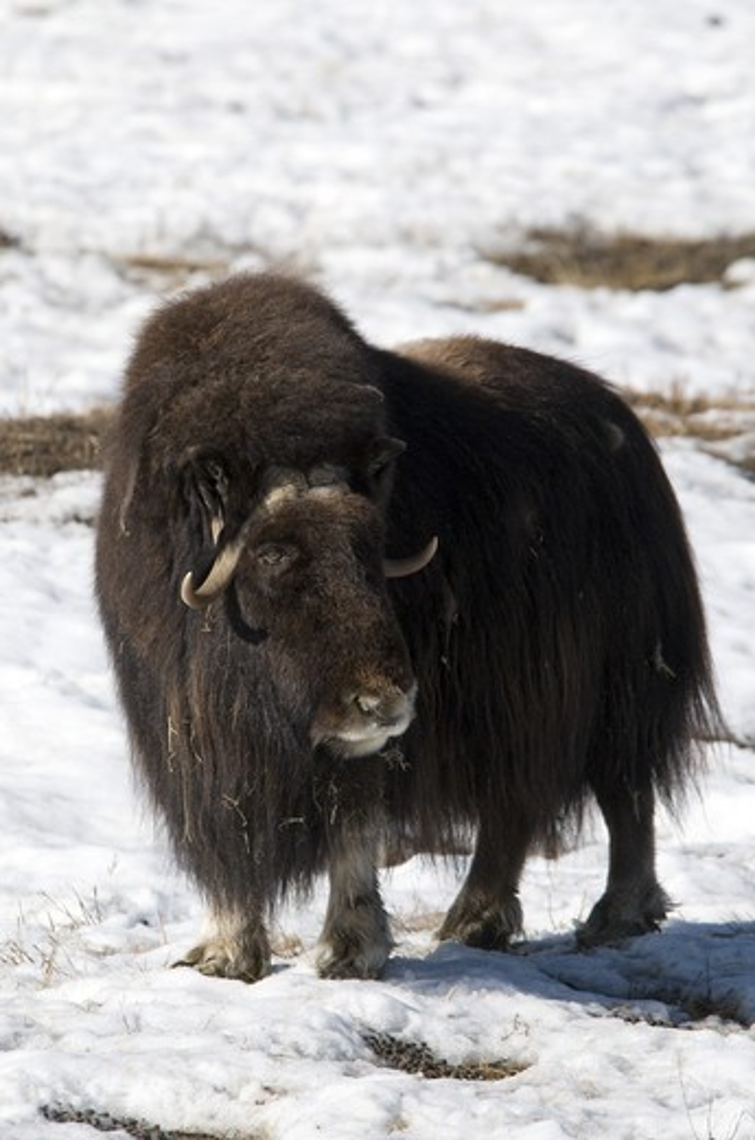 Musk ox (Ovibos moschatus) standing in a snow covered field, Yukon Wildlife Preserve, Yukon, Canada : Stock Photo
