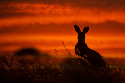 Stock Photo: 647-1964 Silhouette of a Red kangaroo (Macropus rufus) at sunset, Broken Hill, New South Wales, Australia