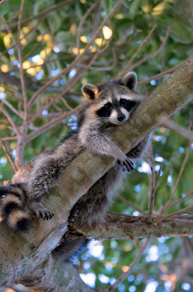 Stock Photo: 647-1976 Close-up of a raccoon on a tree, Green Cay, Boynton Beach, Florida, USA