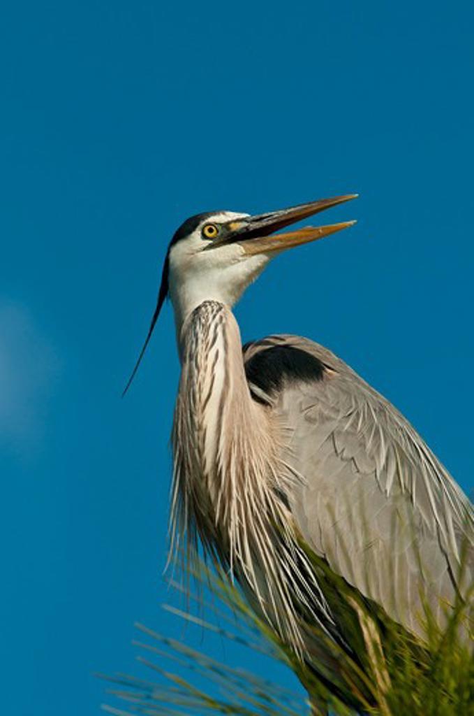 USA, Florida, Great Blue Heron (Ardea herodias) : Stock Photo