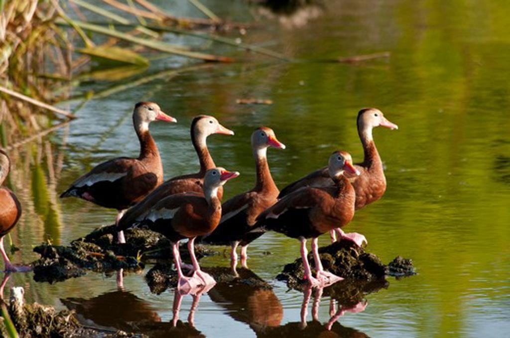Stock Photo: 647-2028 USA, Florida, Black-bellied Whistling-duck (Dendrocygna autumnalis)