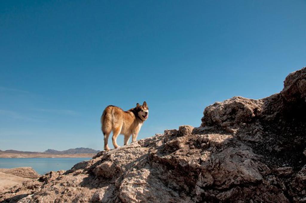 USA, Nevada, Lake Mead National Recreation Area, Alaskan Malamute (Canis lupus familiaris) : Stock Photo