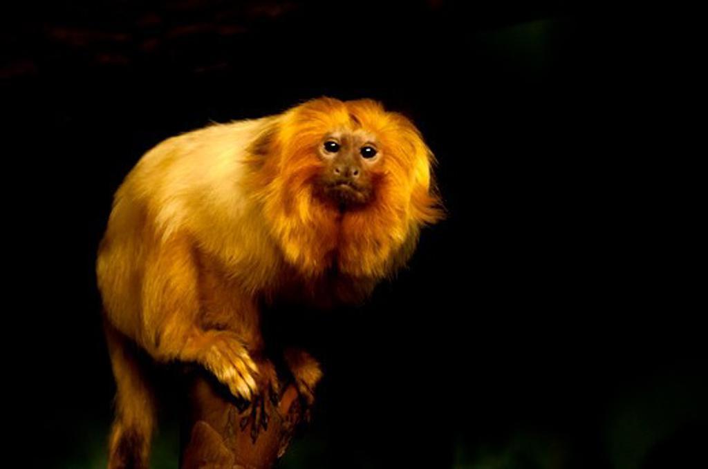 Golden Lion Tamarin (Leontopithecus rosalia) : Stock Photo