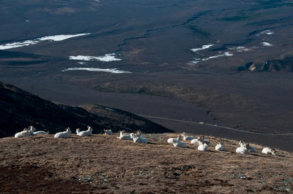 Stock Photo: 647-2070 Herd of Dall sheep (Ovis dalli) on a hill, Denali National Park, Alaska, USA