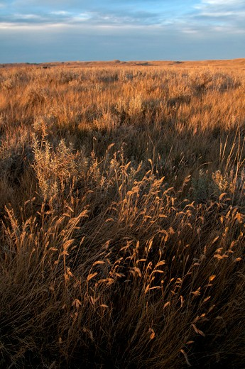 Stock Photo: 647-2124 Tall grass in a field, Grasslands National Park, Saskatchewan, Canada