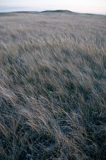 Tall grass in a field, Grasslands National Park, Saskatchewan, Canada : Stock Photo