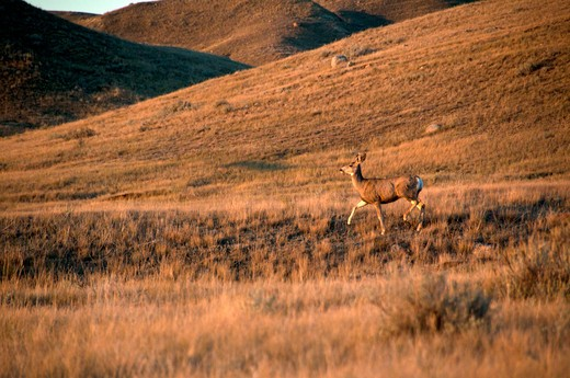 Stock Photo: 647-2130 Mule Deer (Odocoileus hemionus) running in a field, Grasslands National Park, Saskatchewan, Canada