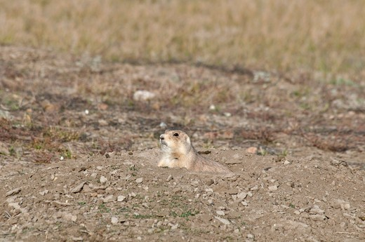 Black-Tailed Prairie dog (Cynomys ludovicianus) in a desert, Grasslands National Park, Saskatchewan, Canada : Stock Photo