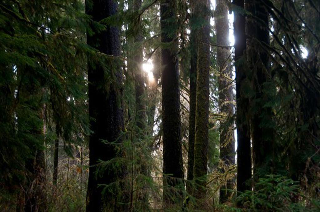 USA, Washington State, Olympic National Park, Hoh Rainforest, Scenic view : Stock Photo