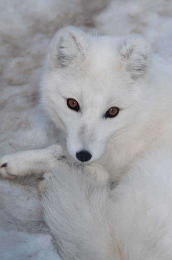 Stock Photo: 647-2287 Canada, Yukon Wildlife Preserve, Portrait of Arctic fox (alopex lagopus)