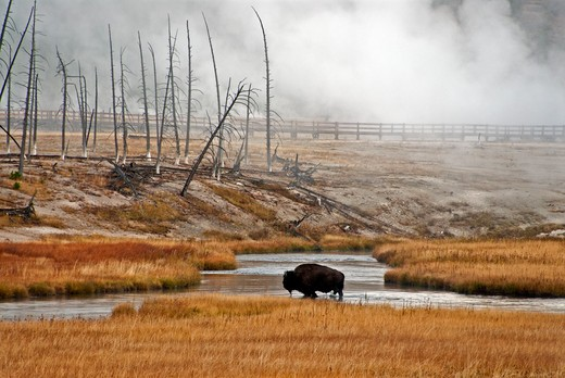 Stock Photo: 647-2335 USA, Wyoming, Yellowstone National Park, Bison in River
