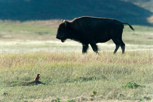 USA, South Dakota, Wind Cave National Park, Bison and Prairie Dog : Stock Photo