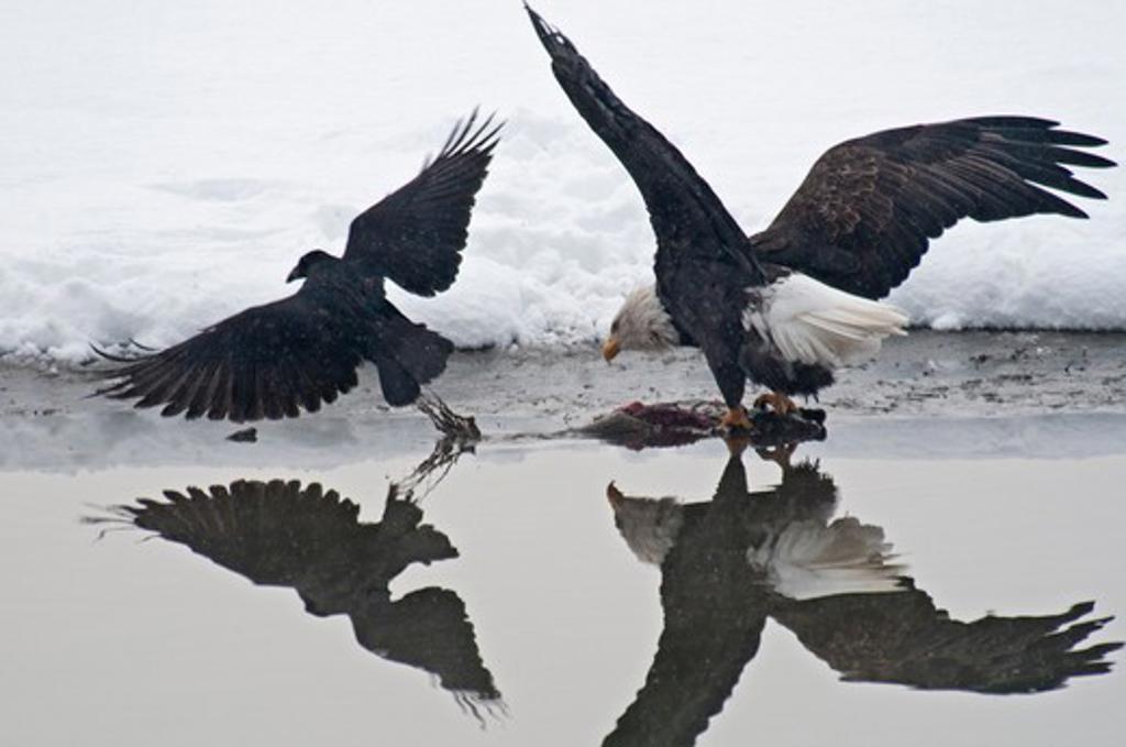 Stock Photo: 647-2353 USA, Alaska, Haines, November, Chilkat Bald Eagle Preserve, Raven and Bald Eagle