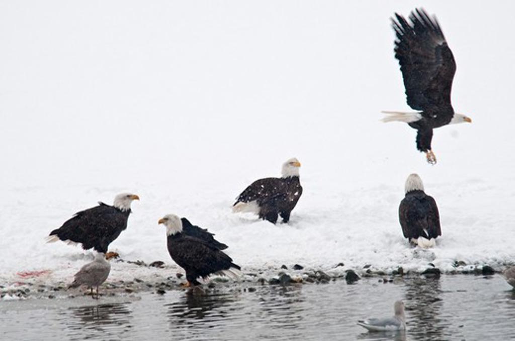 USA, Alaska, Haines, November, Chilkat Bald Eagle Preserve, Bald Eagles at Lake Shore : Stock Photo